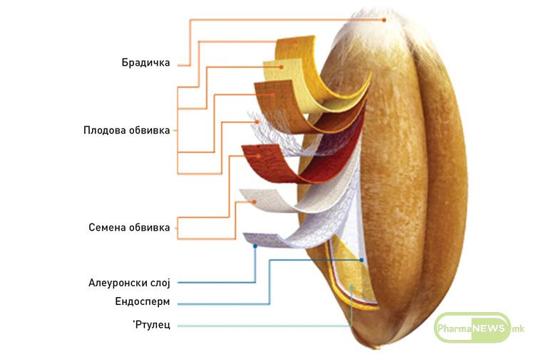 anatomska-gradba-na-zrnoto-goce-vasilevski_2