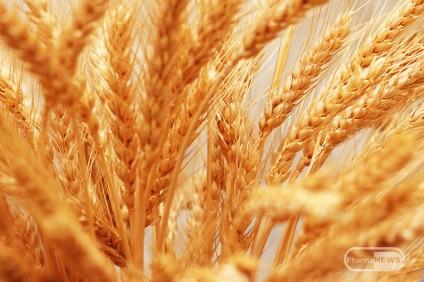 bioloska-i-hranliva-vrednost-na-sostavnite-materii--na-zrnoto-kaj-zitata-goce-vasilevski_1
