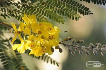 pridobivkite-od-rastitelnite-vlakna-od-bagremot_image